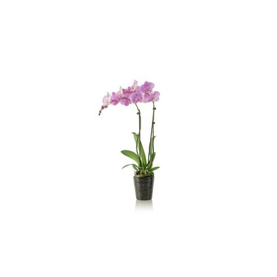 """Orchid """"Phalaenopsis"""""""