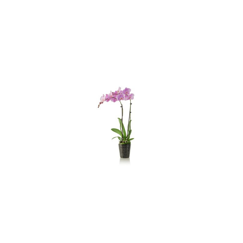 "Orchidėja ""Phalaenopsis"""
